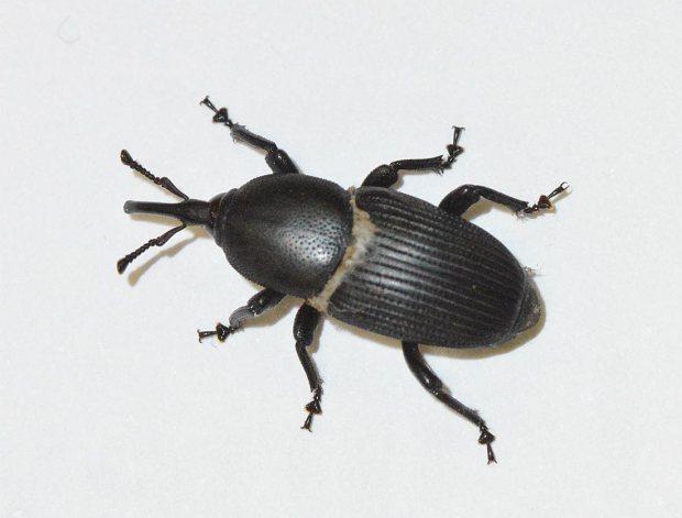 picudo negro del agave